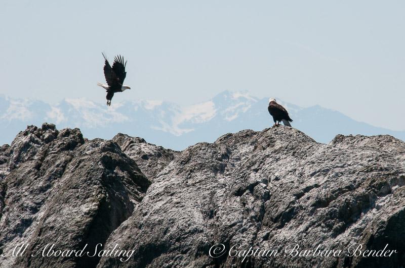 Bald eagles on Whale Rocks