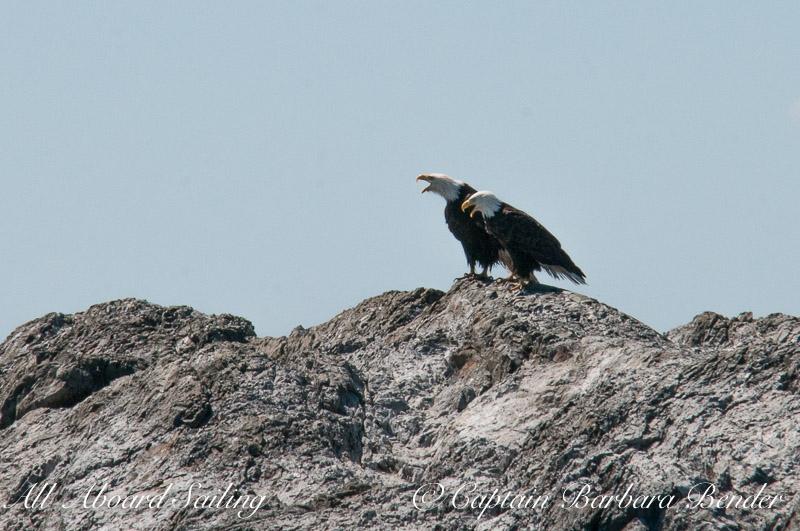 Bald Eagles calling together