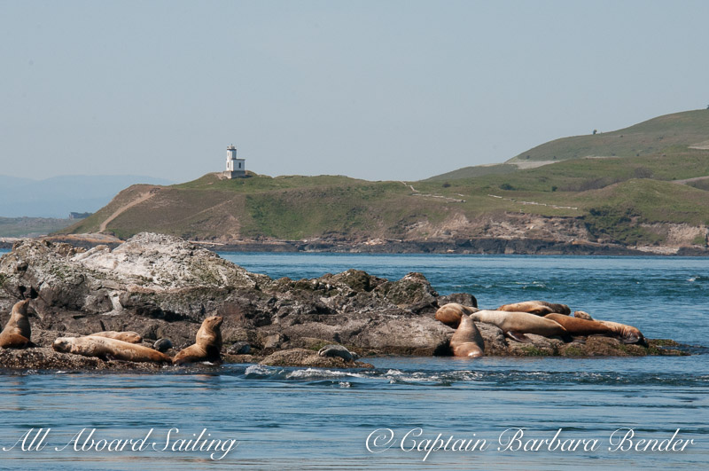 Stellar Sea Lions on Whale Rocks with Cattle Point Light house, San Juan Island