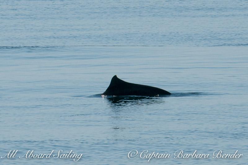 Hybrid Harbor/Dalls Porpoise
