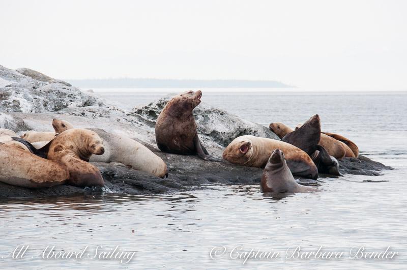 Steller Sea Lions, Spieden Island