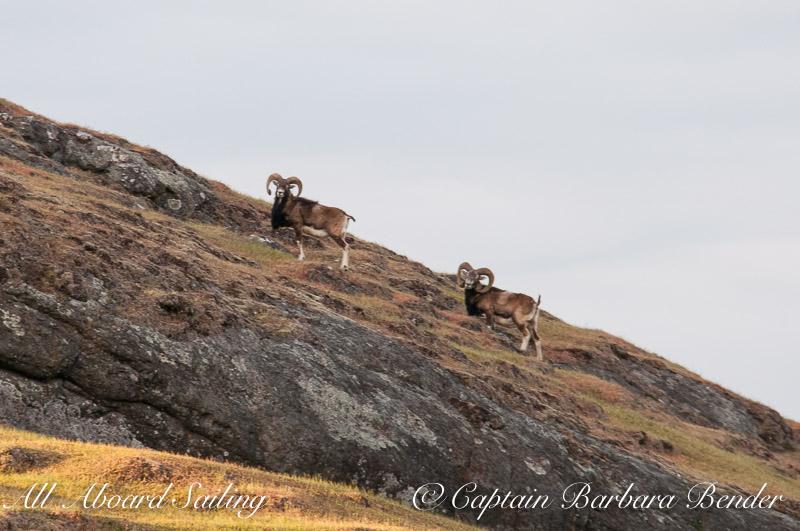 Mouflon Rams