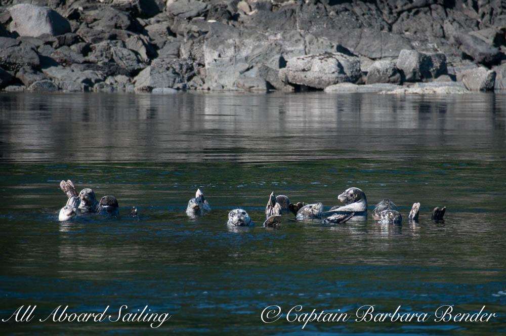Harbor Seals, Cactus Islands. Drift Sailing in the San Juan Islands
