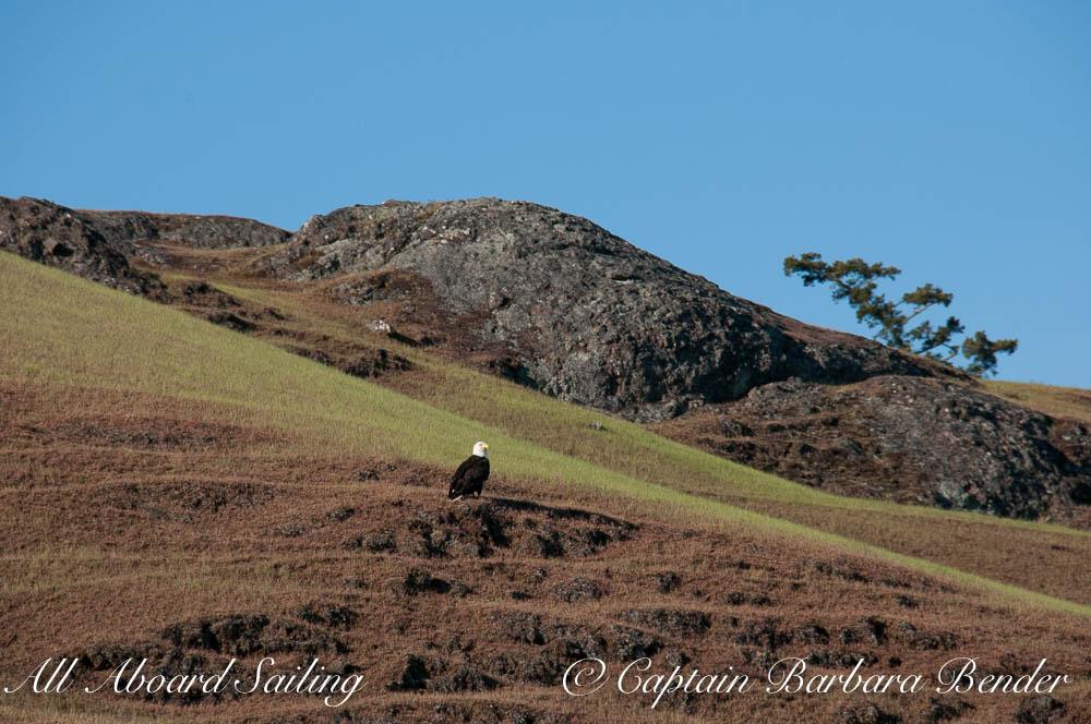 Bald Eagle, Spieden Island