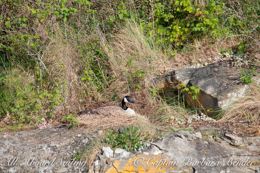 Canadian goose on nest on Flattop Island