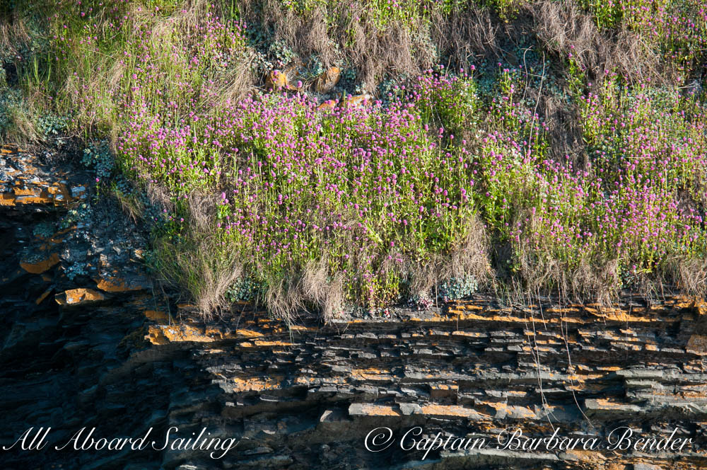 Wildflowers on layered rock on Flattop Island