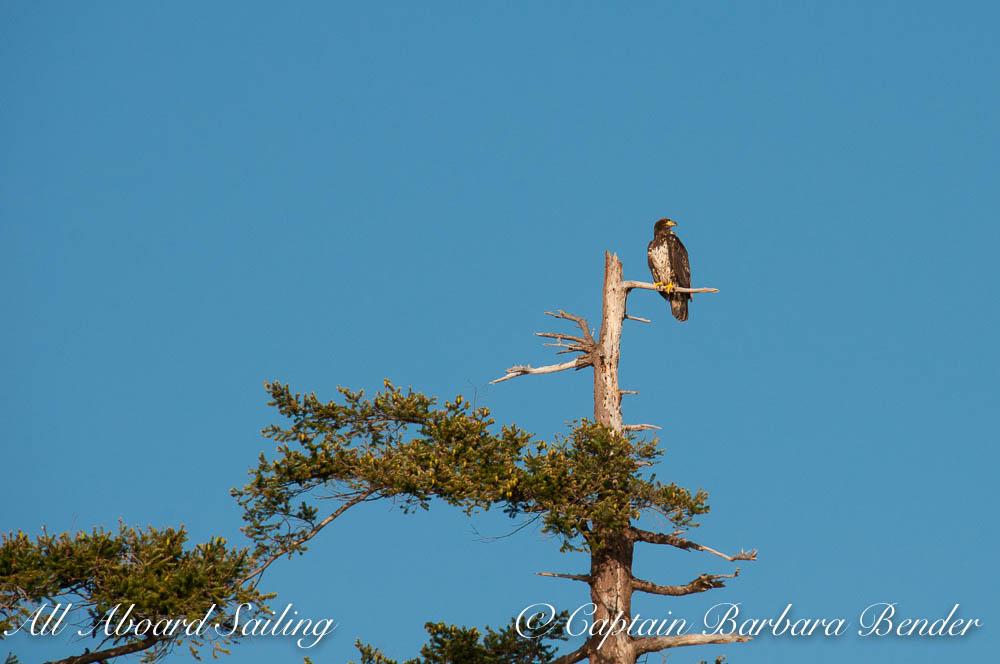 Immature bald eagle, Jones Island