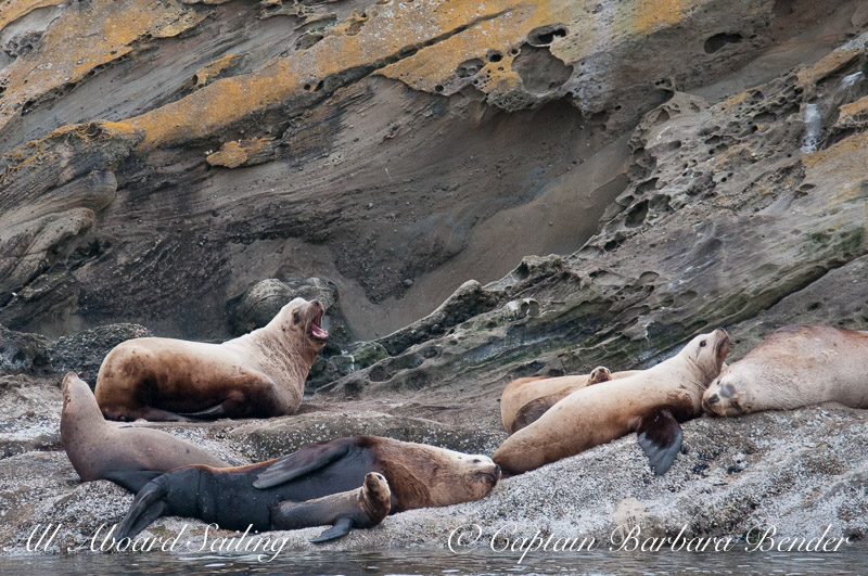 Steller Sea Lions of Sucia Island - notice the tiny sea lion next to the big male