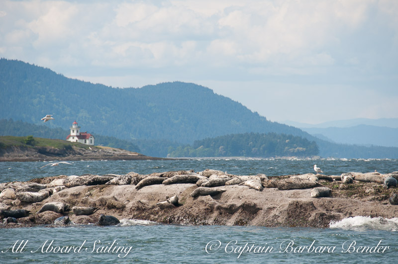 Harbor seals near Alden Point Lighthouse, Patos Island, sailing San Juan Islands