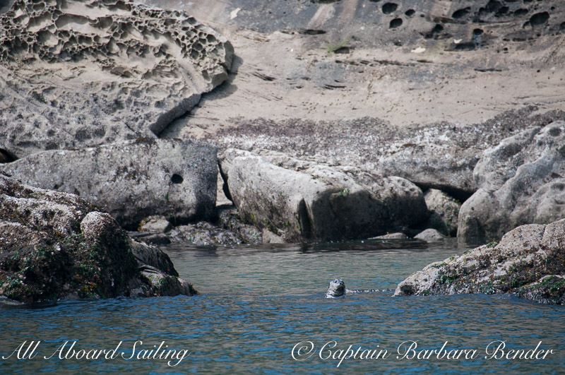 Harbor Seal nestled in cove, Patos Island, Sailing San Juan Islands