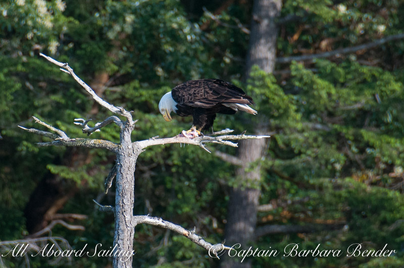 Bald Eagle having supper