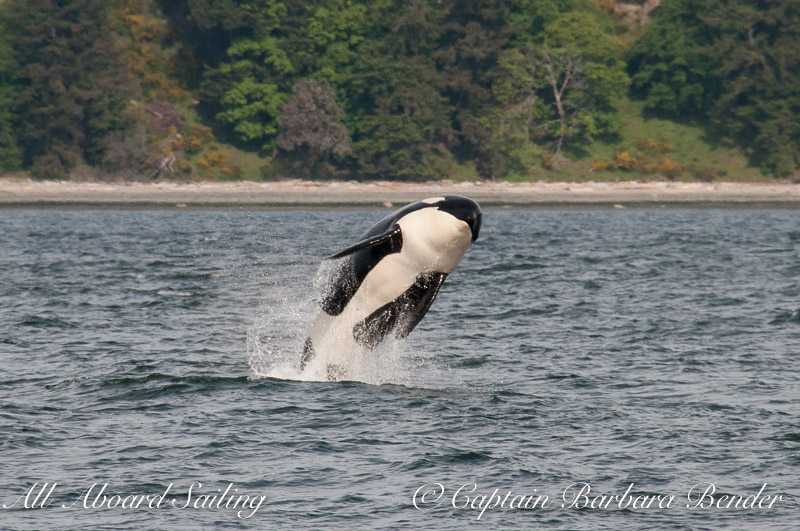 Southern Resident Orca whale