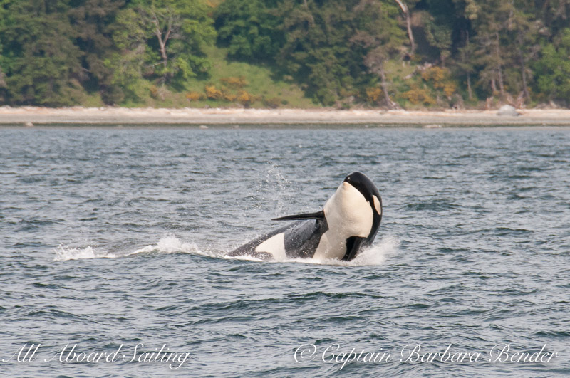 Souther Resident Orca whale