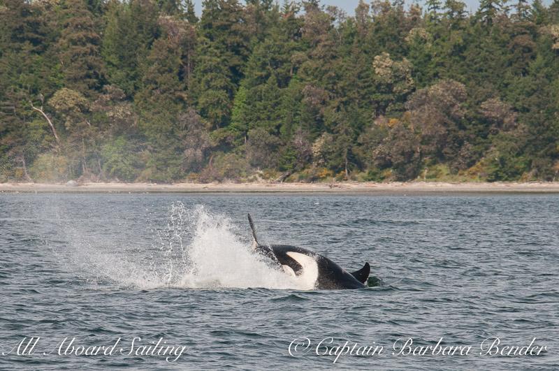 J22 Cartwheel  Southern Resident Killer Whale