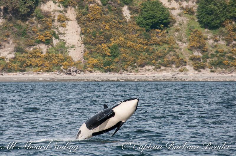 J46 Star  Southern Resident Killer Whale
