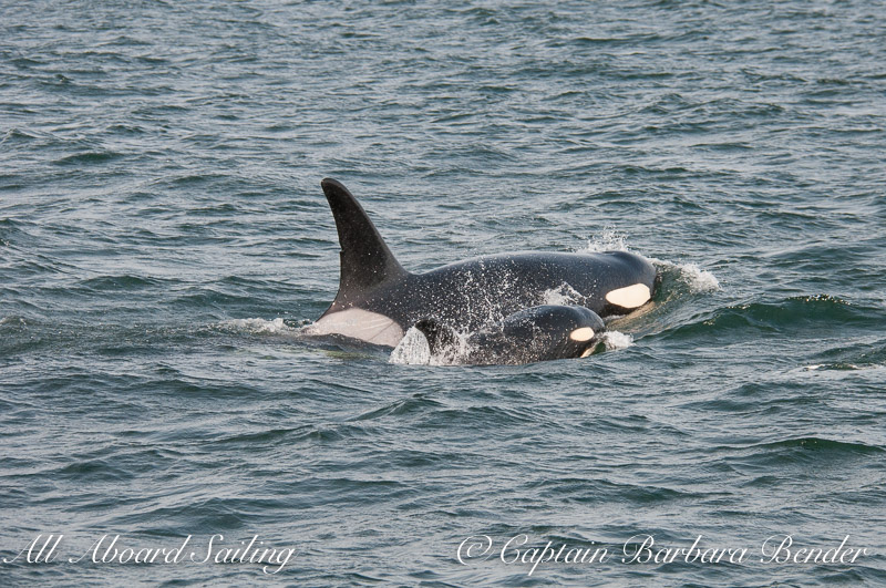 Polaris J28 and her calf J54  Southern Resident Killer Whales