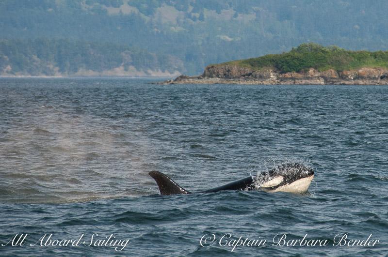 J-22 Oreo  Southern Resident Killer Whale