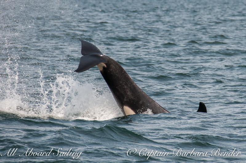 J-46 Star  Southern Resident Killer Whale