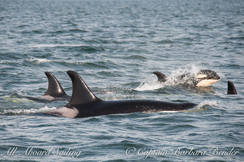 The J-17s  Southern Resident Killer Whales