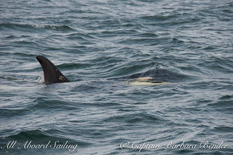 J-22   Southern Resident Killer Whale logging at the surface