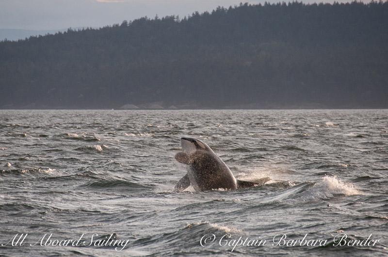 J42 Echo  Southern Resident Killer Whale