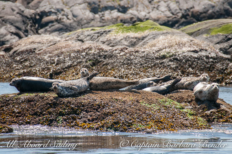Harbor Seals watch us sail out from Friday Harbor through Cattle Pass
