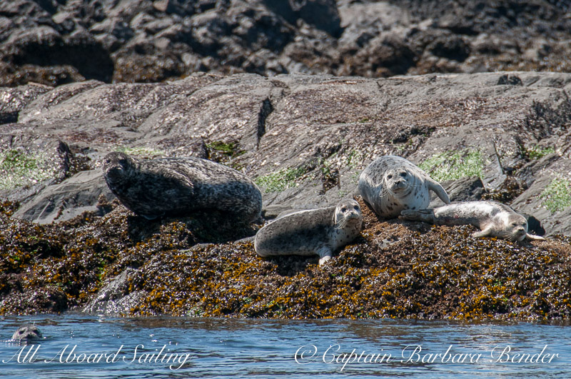 Harbor Seals watch us sail out through Cattle Pass after leaving Port of Friday Harbor
