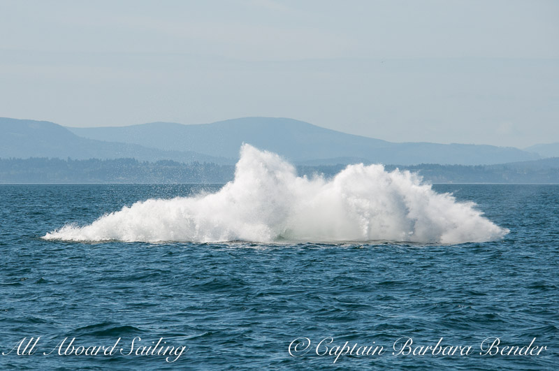 """Big Mamma"" (BCY0324) Humpback whale breaches at Beaumont Shoals, Haro Strait West of San Juan Island"