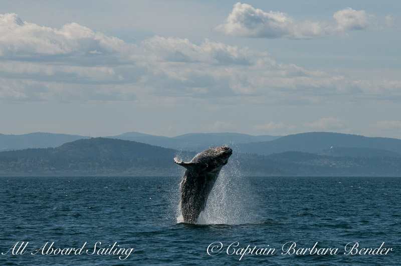 Big Mammas 6th known humpback whale calf breaches 1/6