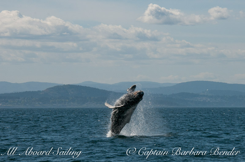 Big Mammas 6th known humpback whale calf breaches 2/6