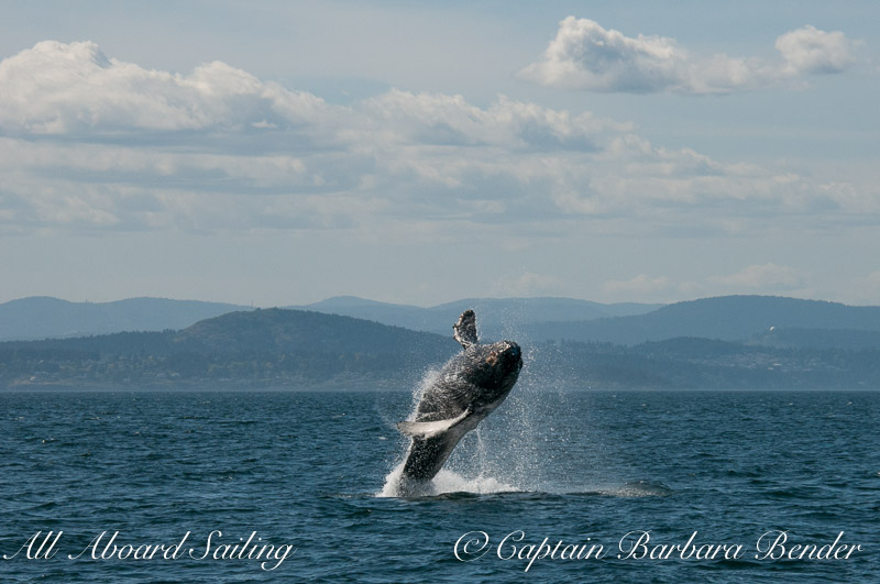 Big Mammas 6th known humpback whale calf breaches, Haro Strait San Juan Island 3/6