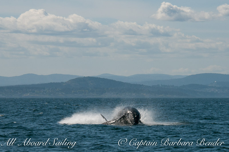 Big Mammas 6th known humpback whale calf breaches, Haro Strait San Juan Island 4/6