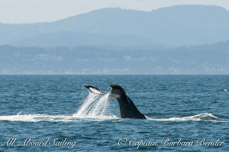 Inverted Tail Lob Big Mamma Humpback whale