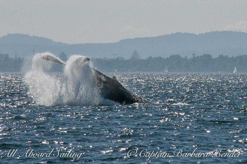 Tail Lob, Big Mamma Humpback whale BCY3024, Haro Strait, San Juan island