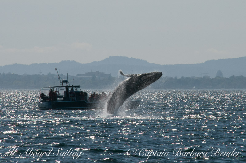 Humpback whale calf breaches next to whale watching tour boat