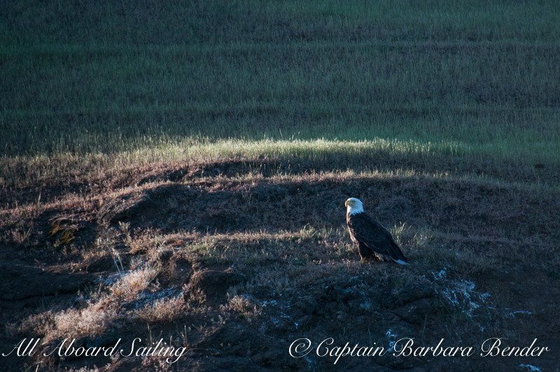 Bald Eagle, Speiden Island