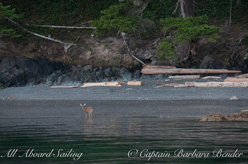 Deer on the beach of Shaw Island