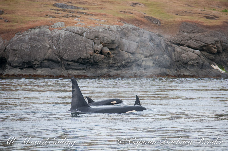 J-16s Southern resident killer whales