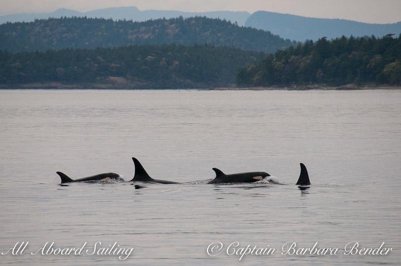 J-16s Southern Resident Orcas