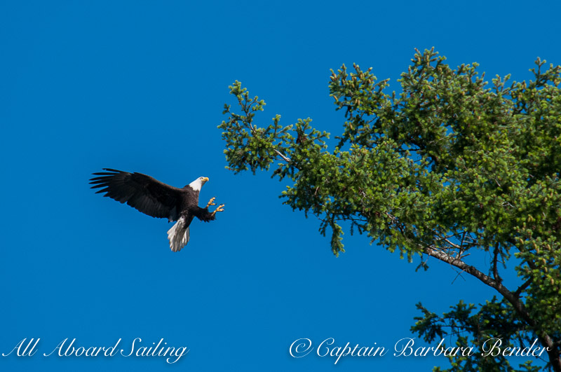 Bald eagle falling out of the tree