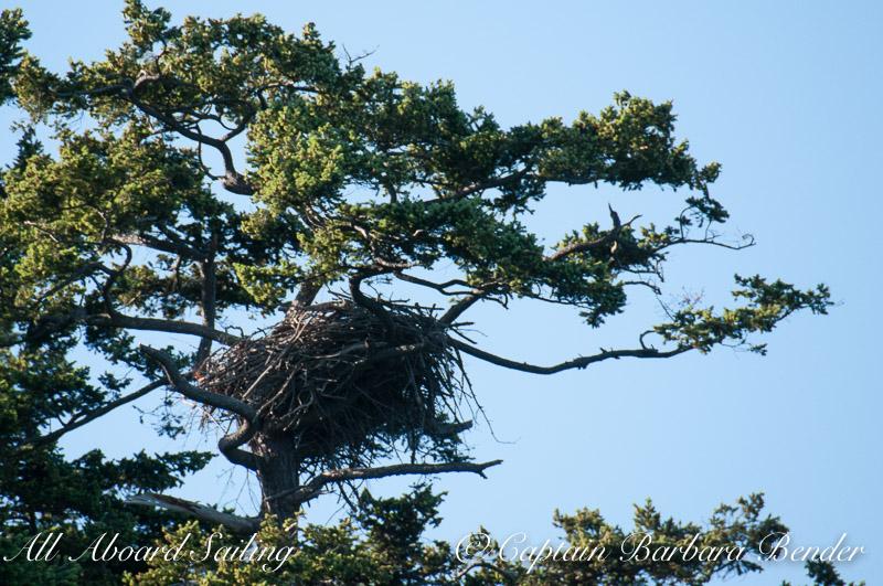 Bald Eagle active nest