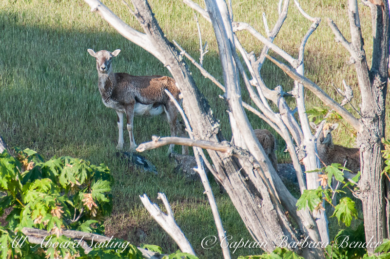 Mouflon Sheep, Spieden Island