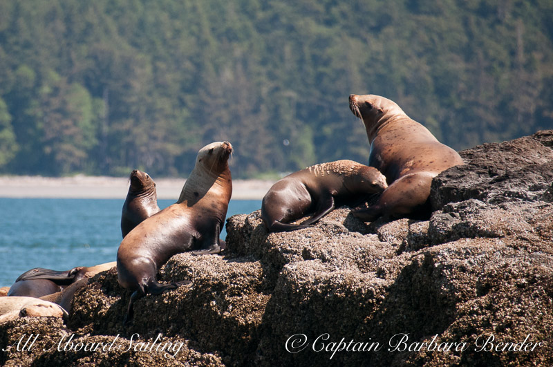 We used to think it was just the males who came her but this Steller sea lion is nursing