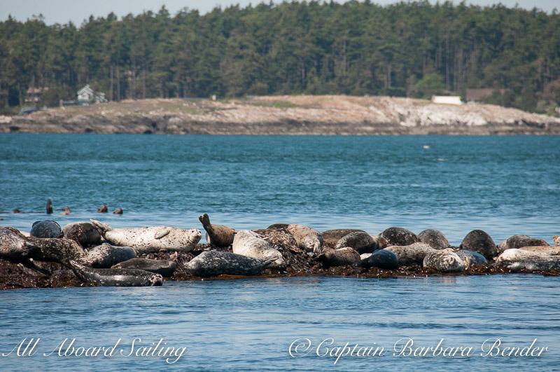 Lots of Harbor Seals