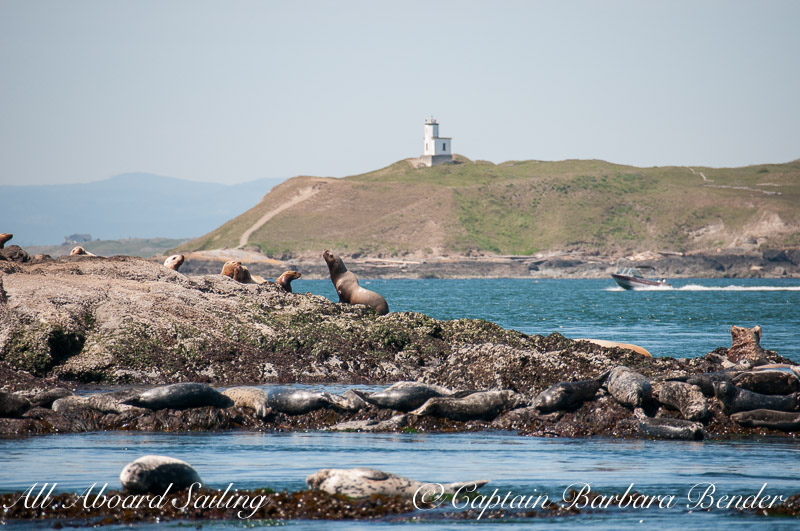 Cattle Point Lighthouse, steller sea lions and harbor seals