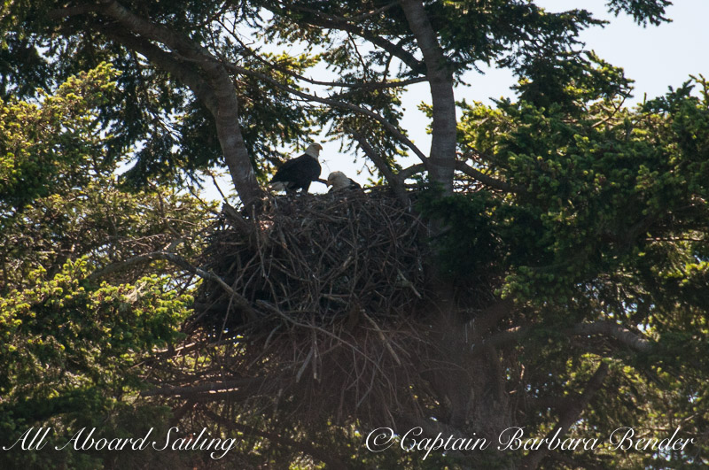 Bald eagles - one just returning with food