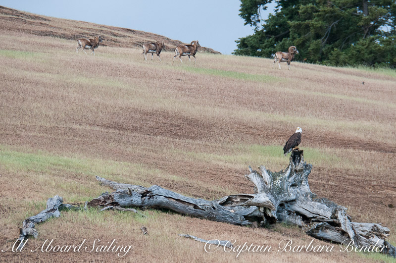Bald Eagle and Mouflon Rams on Speiden Island
