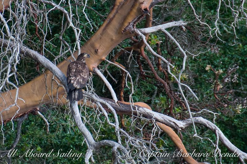 Immature bald eagle on Madrone, Sentinel Island