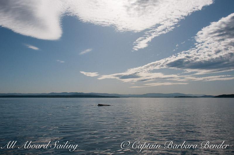 "Humpback BCY0324 ""Big Mama"" - calm waters in Haro Strait"
