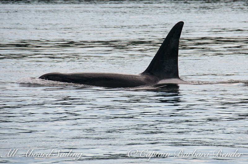 Male Transient Orca - T123A